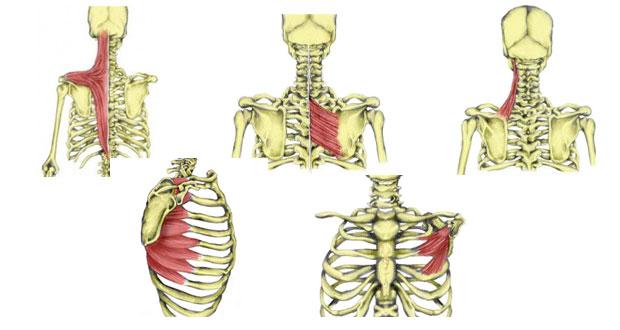 shoulder-girdle-muscles620